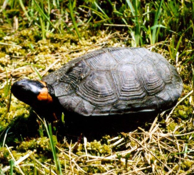 a bog turtle